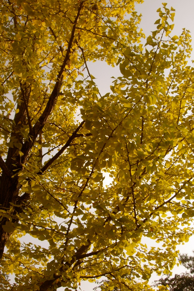 Ginko Tree - Keimyung University